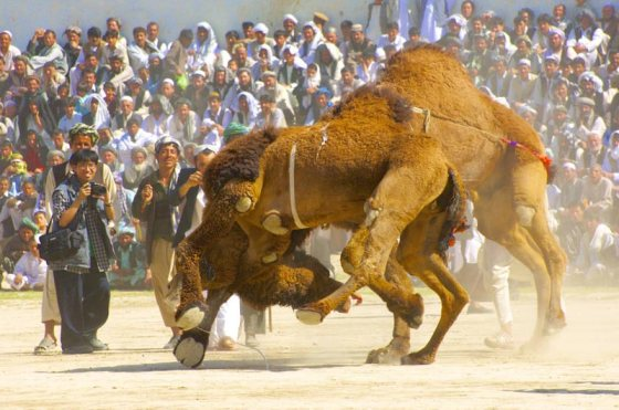 Camel fights Navroz (Spring Festival) Tournament, Mazar-i-Sharif, Afghanistan
